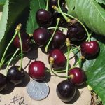 Cherry, Camptonville Candy from FGI
